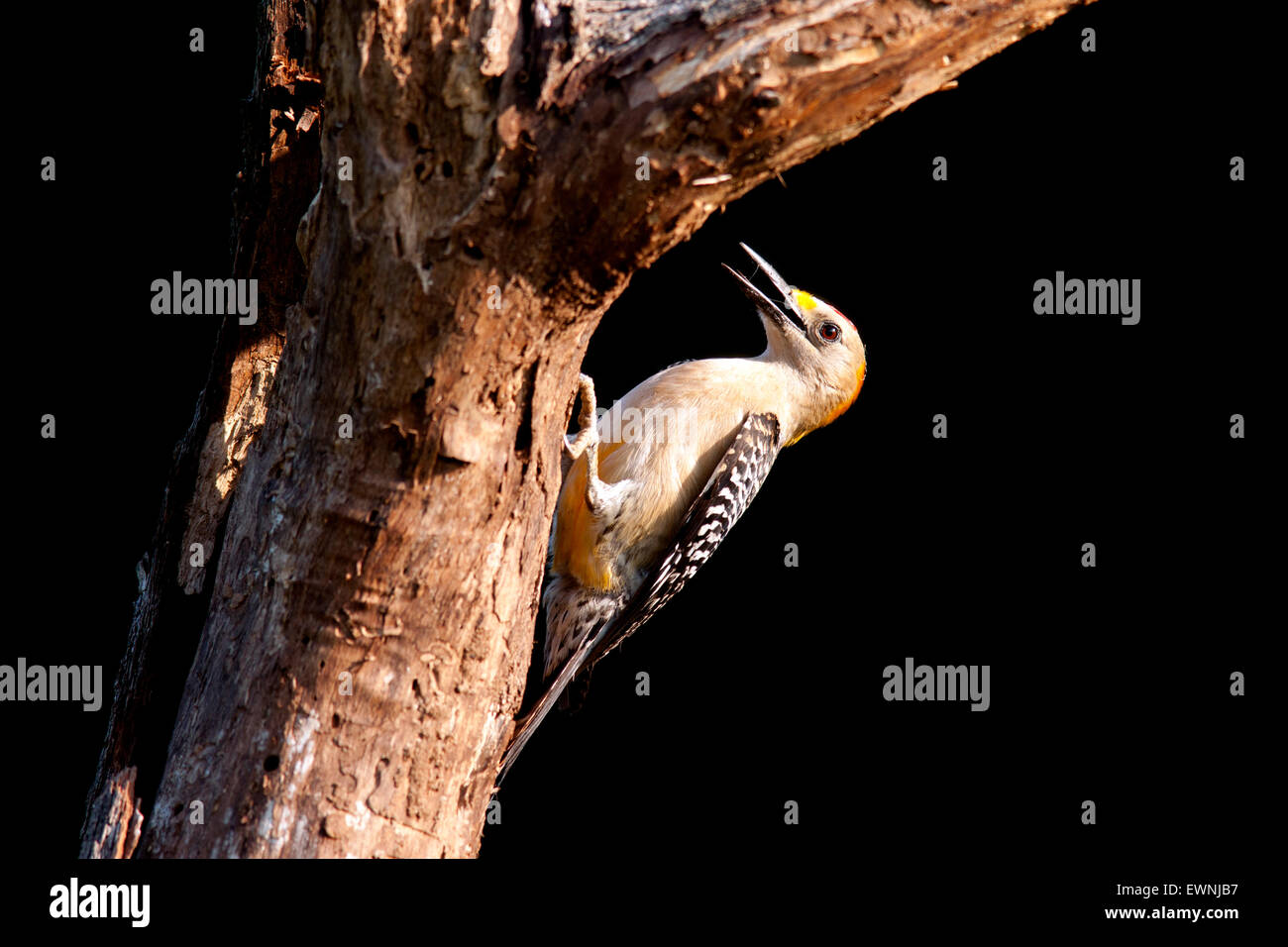 Male Golden-fronted Woodpecker (Melanerpes aurifrons) - Camp Lula Sams, Brownsville, Texas, USA Stock Photo