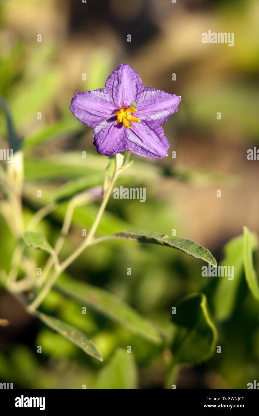 Silver-leaf nightshade (Solanum elaegnifolium) - Camp Lula Sams - Brownsville, Texas, USA - Stock Image