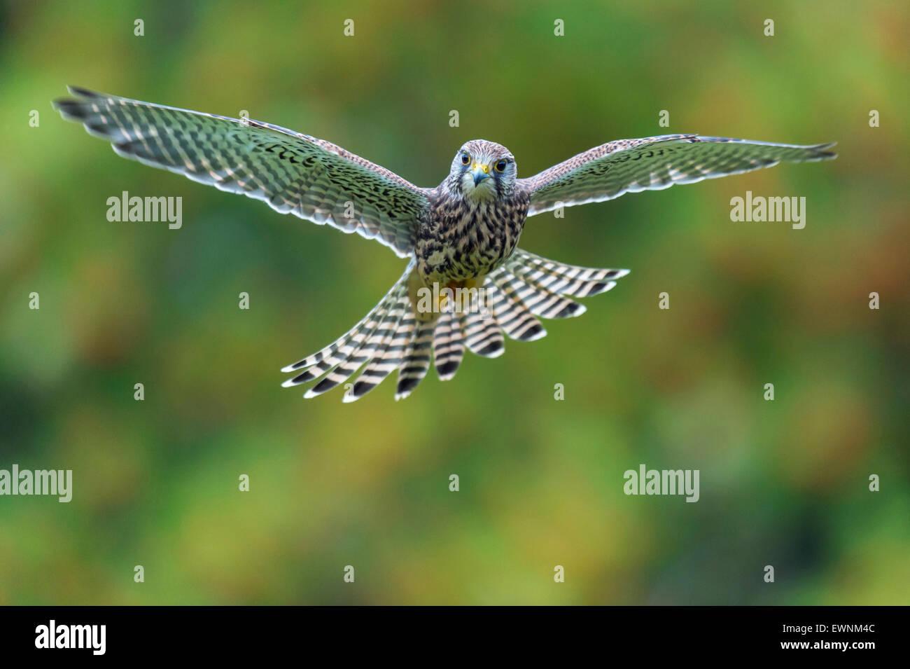 common kestrel, falco tinnunculus, oldenburger münsterland, niedersachsen, germany - Stock Image