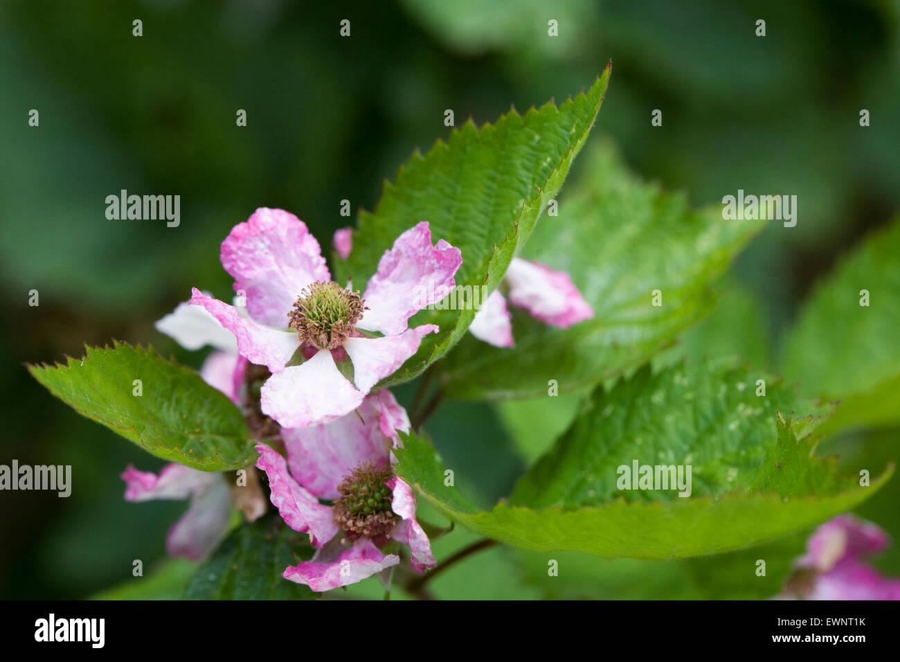 Rubus fructicosus. Pollinated blackberry flower. - Stock Image
