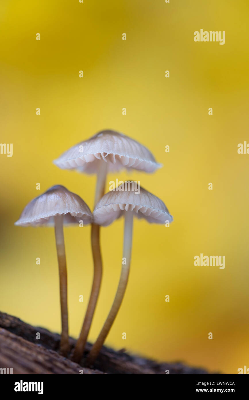lilac bonnet (mycena pura) in autumnal forest, niedersachsen, germany - Stock Image