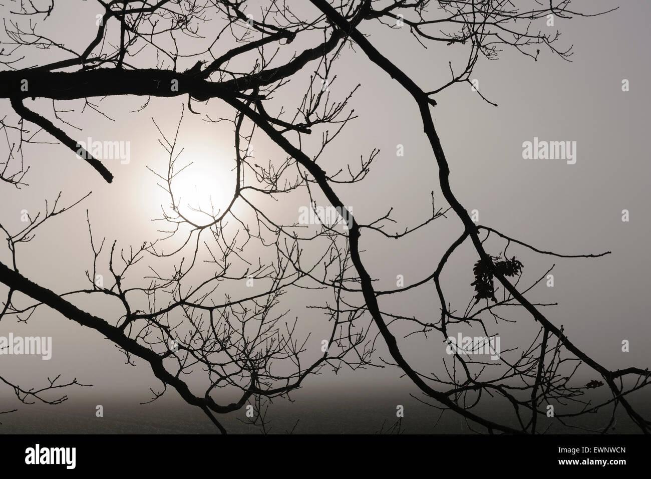 birch tree in november fog, niedersachsen, germany - Stock Image