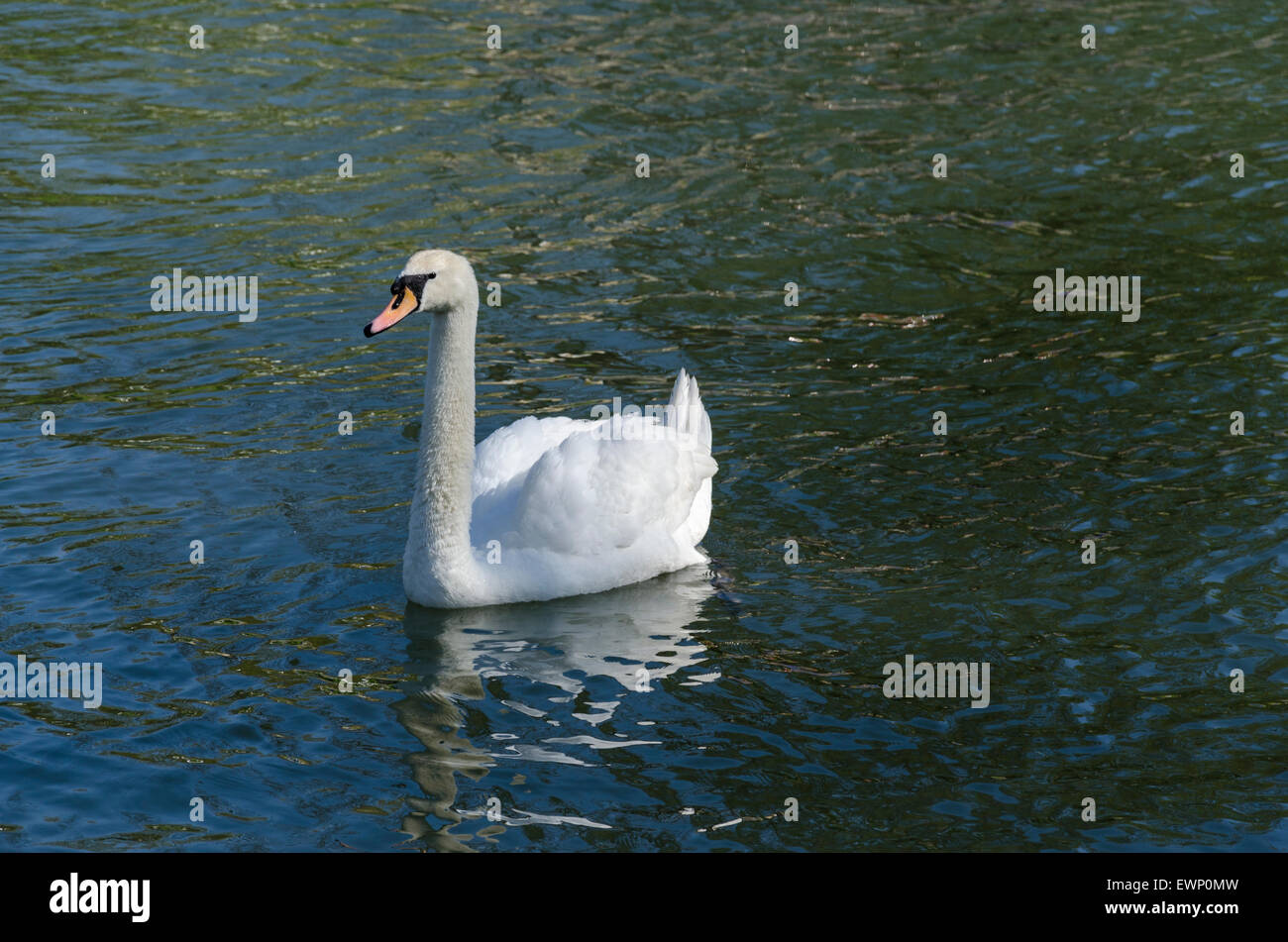 Adult Mute Swan on the River Cam - Stock Image