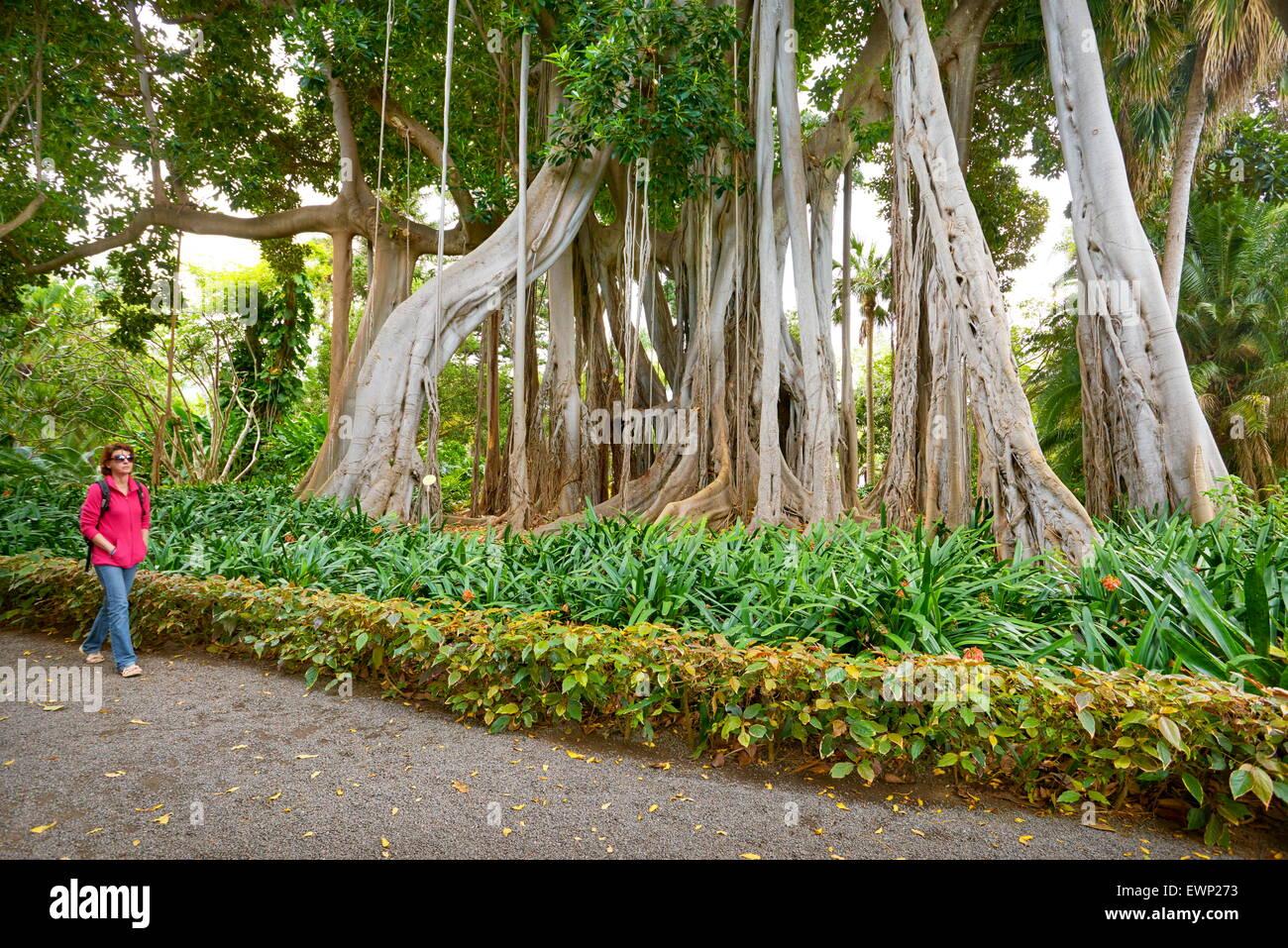 Ficus Tree, Botanic Garden, Puerto de la Cruz, Tenerife, Canary Islands, Spain - Stock Image