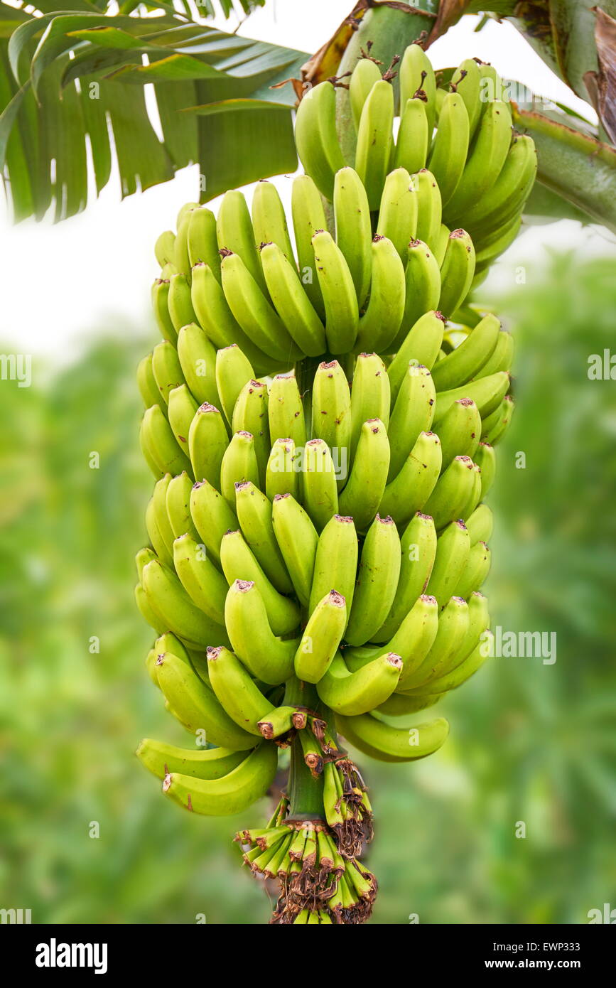 Banana fruit, Tenerife, Canary Islands, Spain - Stock Image