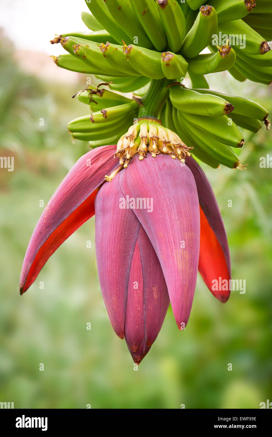 Banana flower bloom blossom, Tenerife, Canary Islands - Stock Image