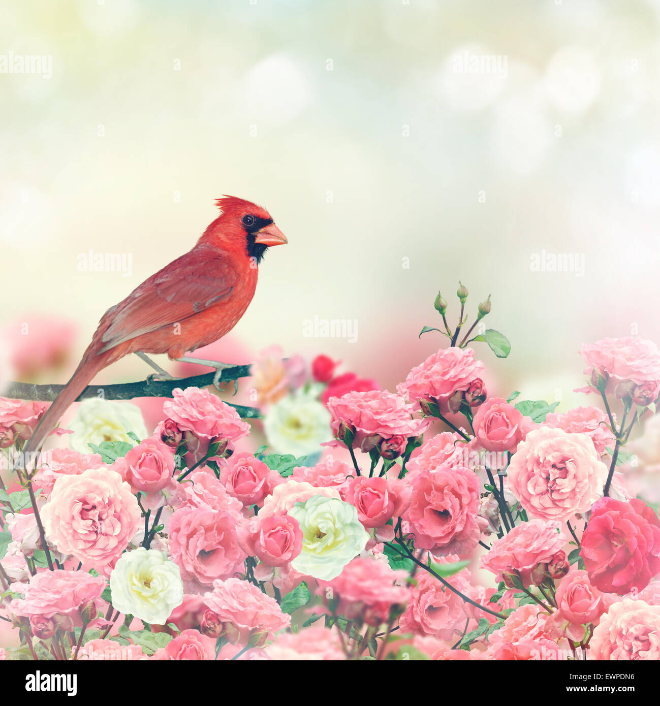 Red Cardinal Bird Perches In Rose Garden - Stock Image