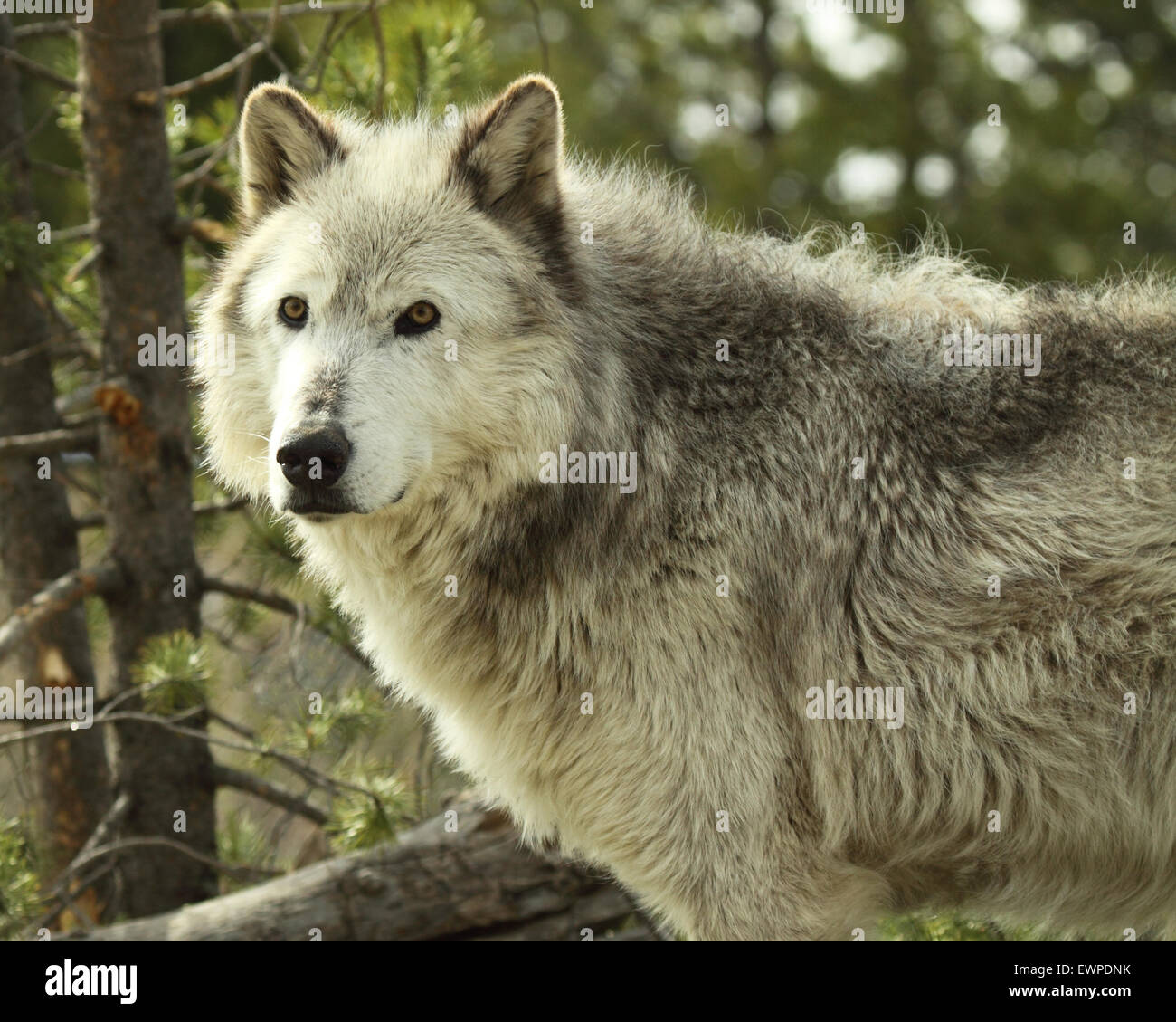 A Gray Wolf pausing in a Montana woodland. - Stock Image
