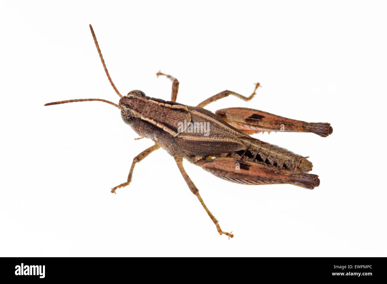 Wingless grasshopper, Phaulacridium vittatum - Stock Image