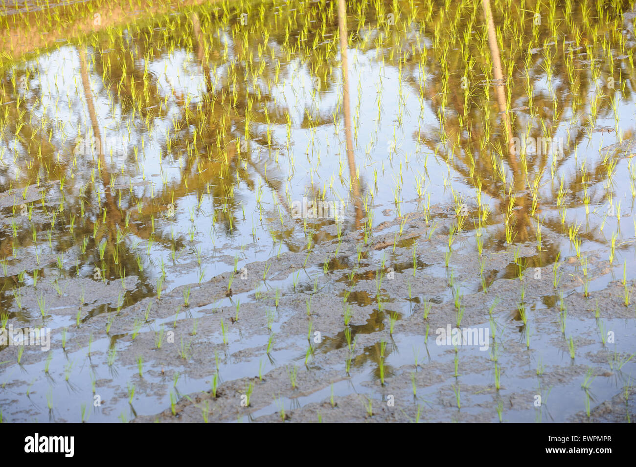 Coconut palm trees reflected in a padi field, newly planted with rice plants, Ubud, Bali, Indonesia. - Stock Image