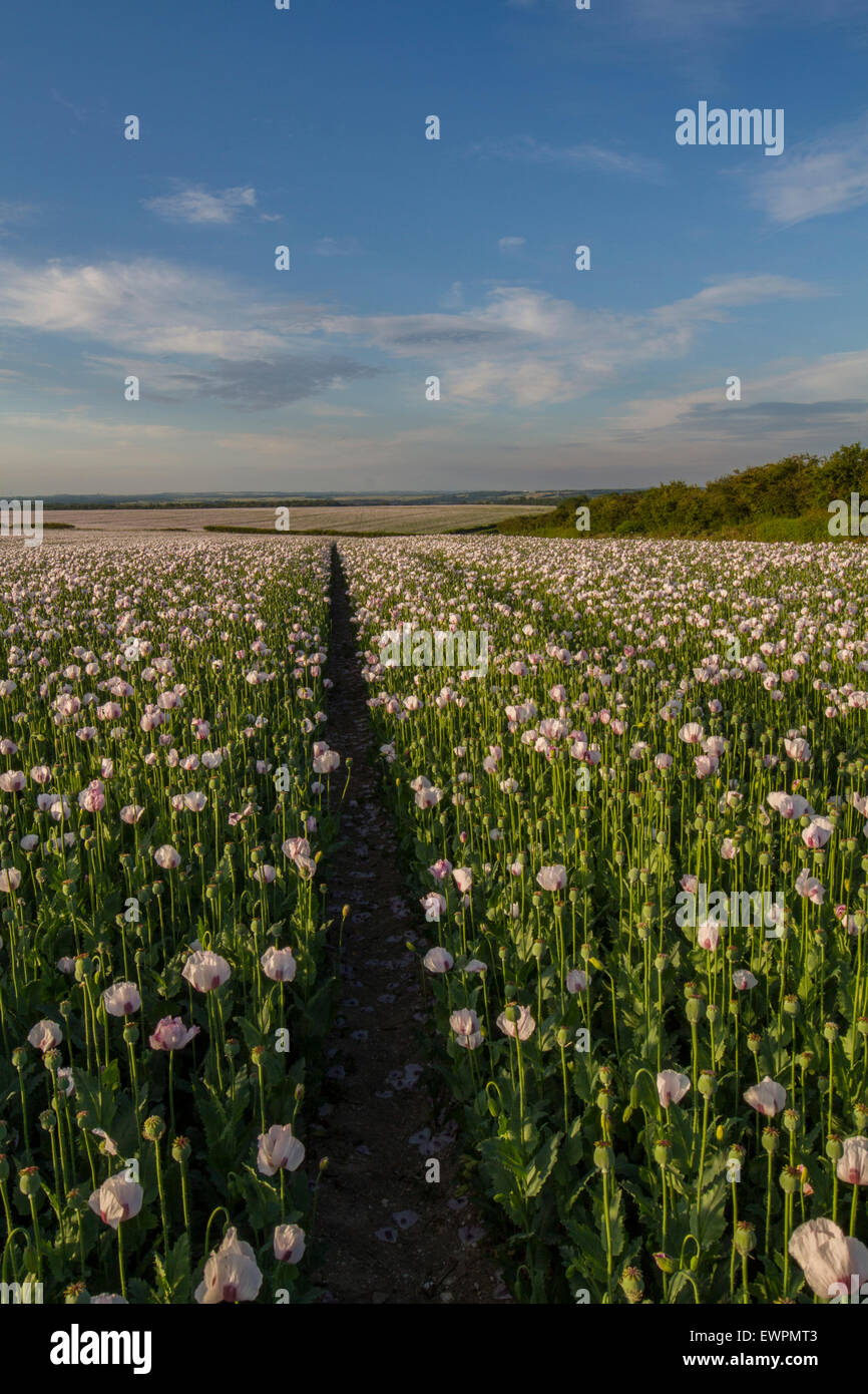 sunset over pretty white pink poppies in crop Stock Photo