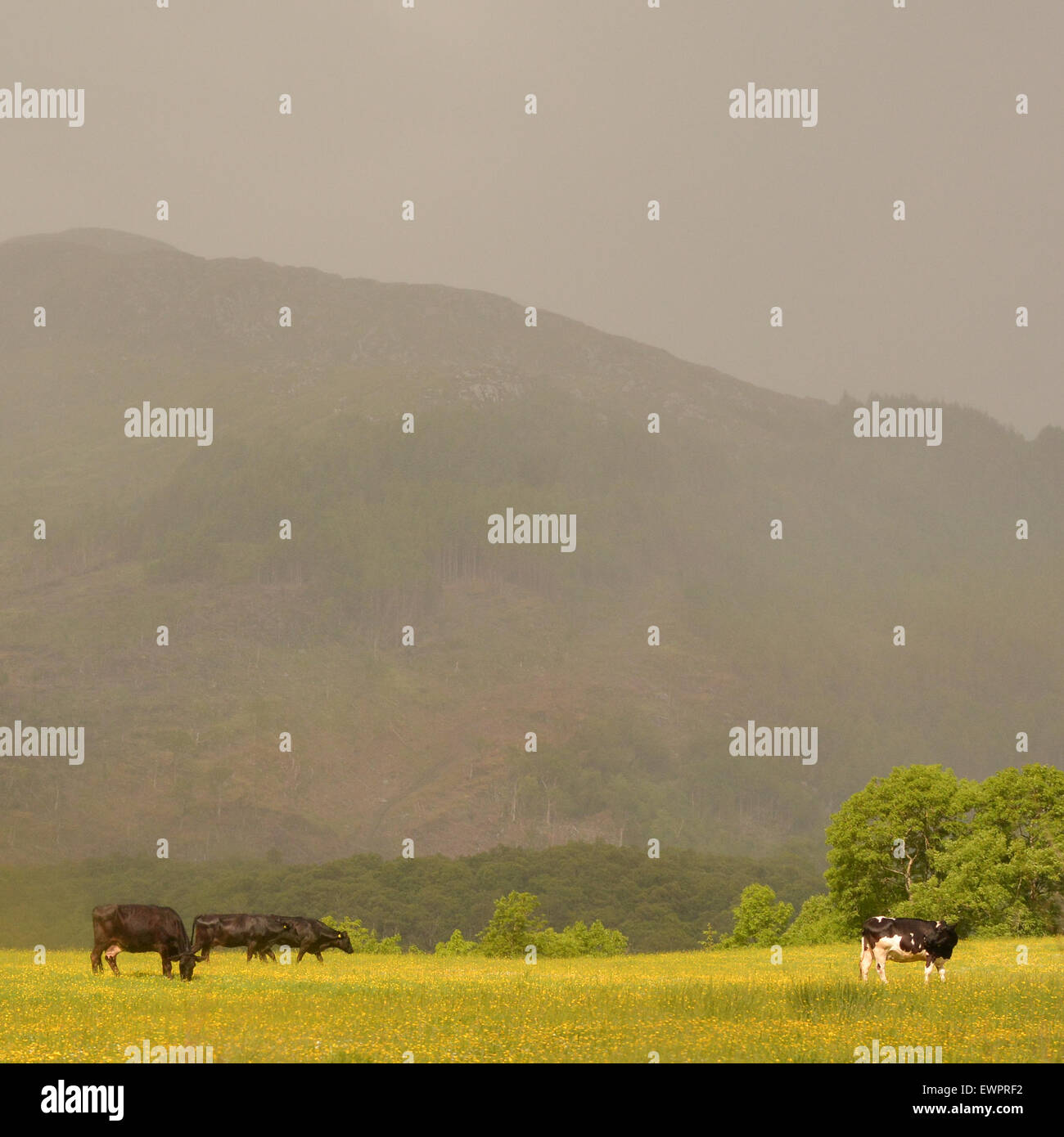 cows in field of buttercups illuminated by late afternoon summer light - Scotland, UK - Stock Image