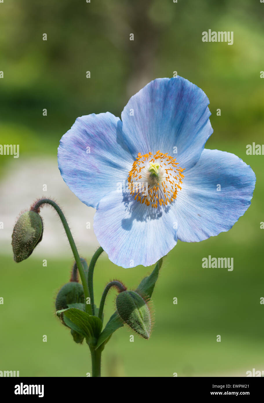 Himalayan Poppy Meconopsis 'Lingholm' - Stock Image