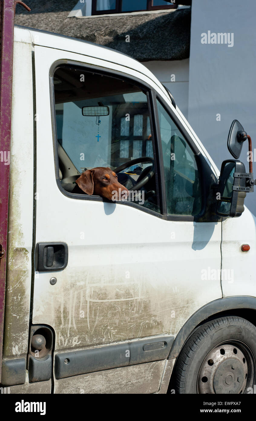 Dog head looking out from car window - Stock Image