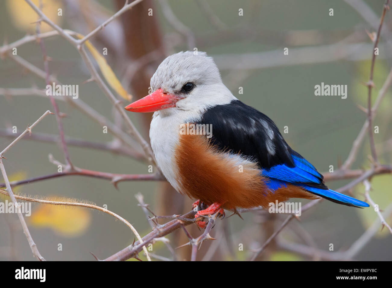 Grey-headed kingfisher, Santiago, Cape Verde (Halcyon leucocephala) - Stock Image