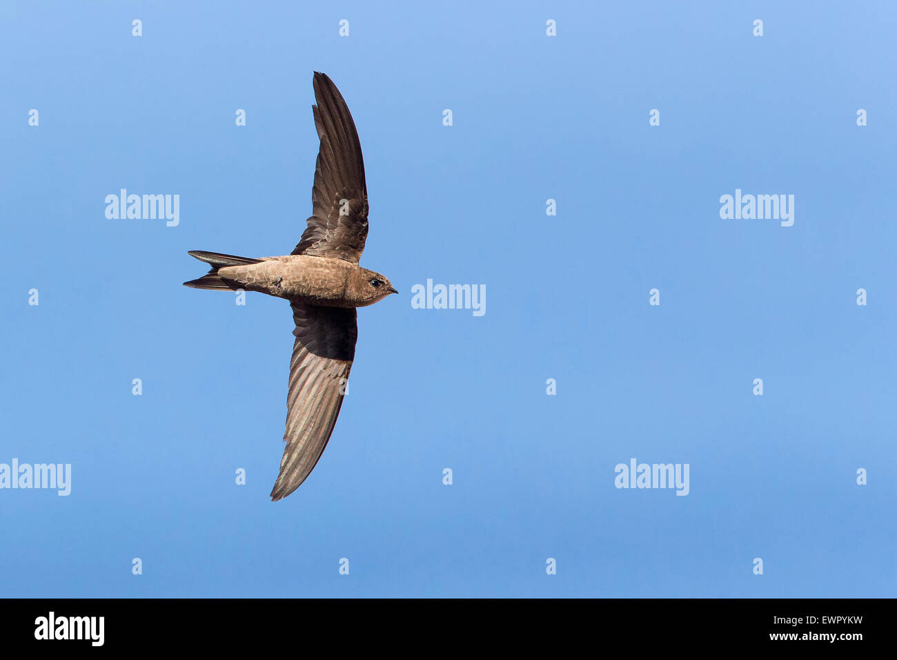 Cape Verde Swift, Flight, Sao Nicolau (Apus alexandri) - Stock Image