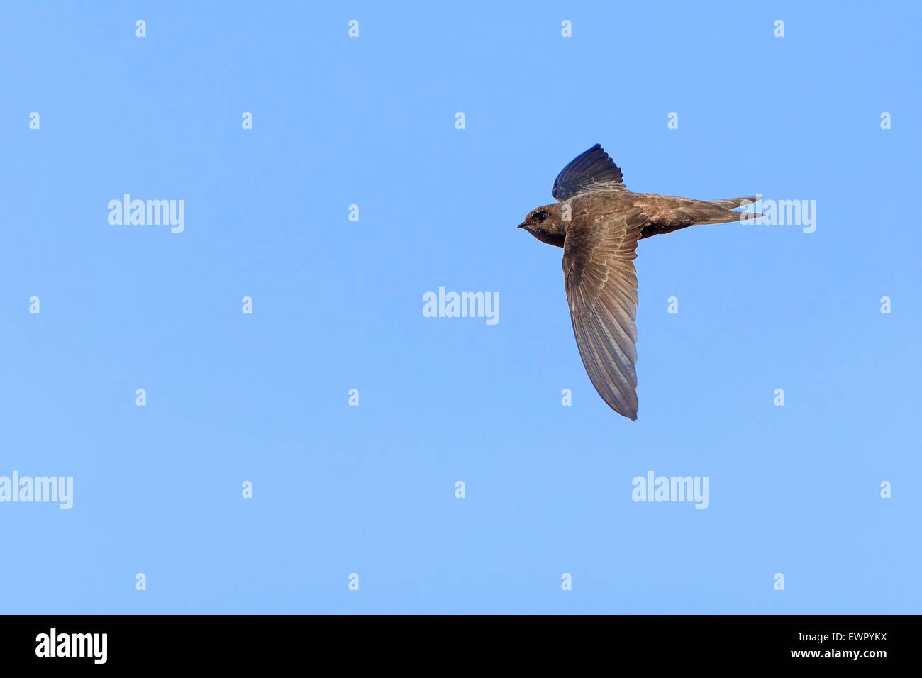 Cape Verde Swift, Flight, Sao Nicolau, Cape Verde (Apus alexandri) - Stock Image