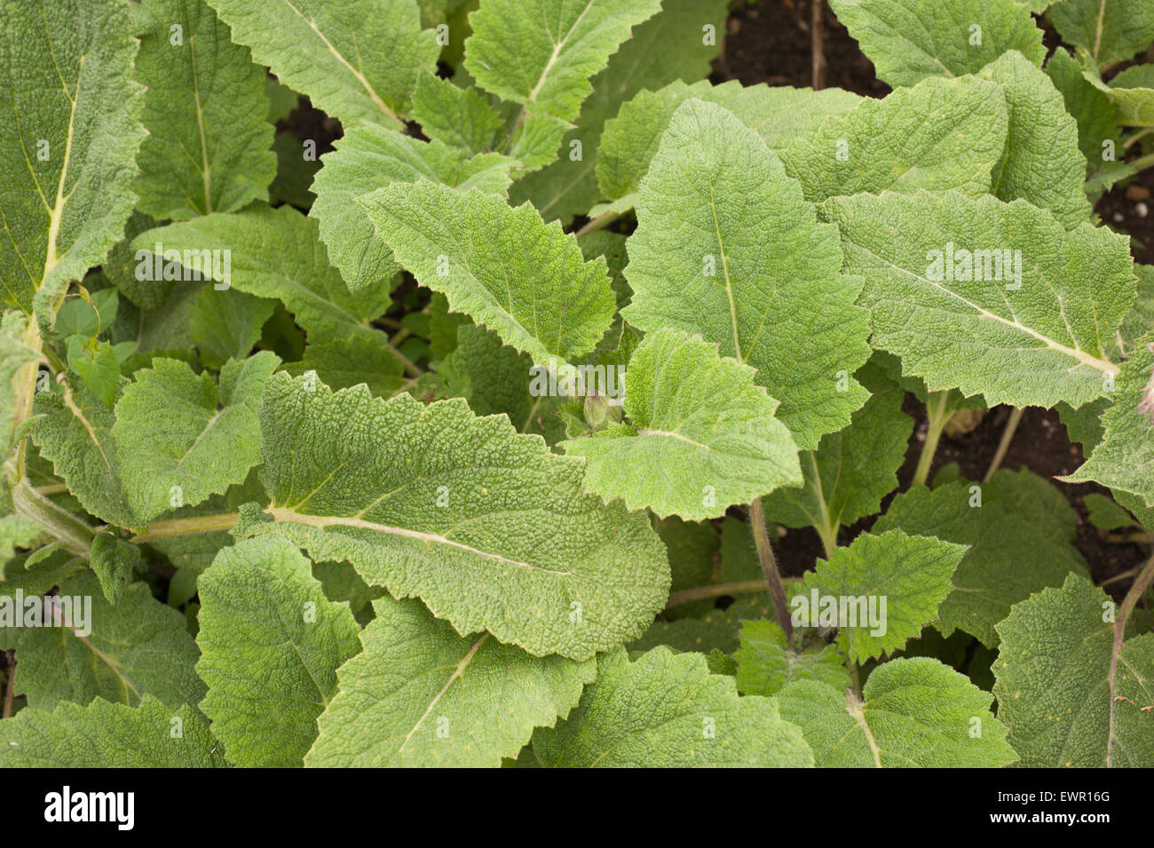 [Great Britain] closeups [colour images] herbs outsides plants daylight detail [Northern Europe] [close-ups] foods - Stock Image