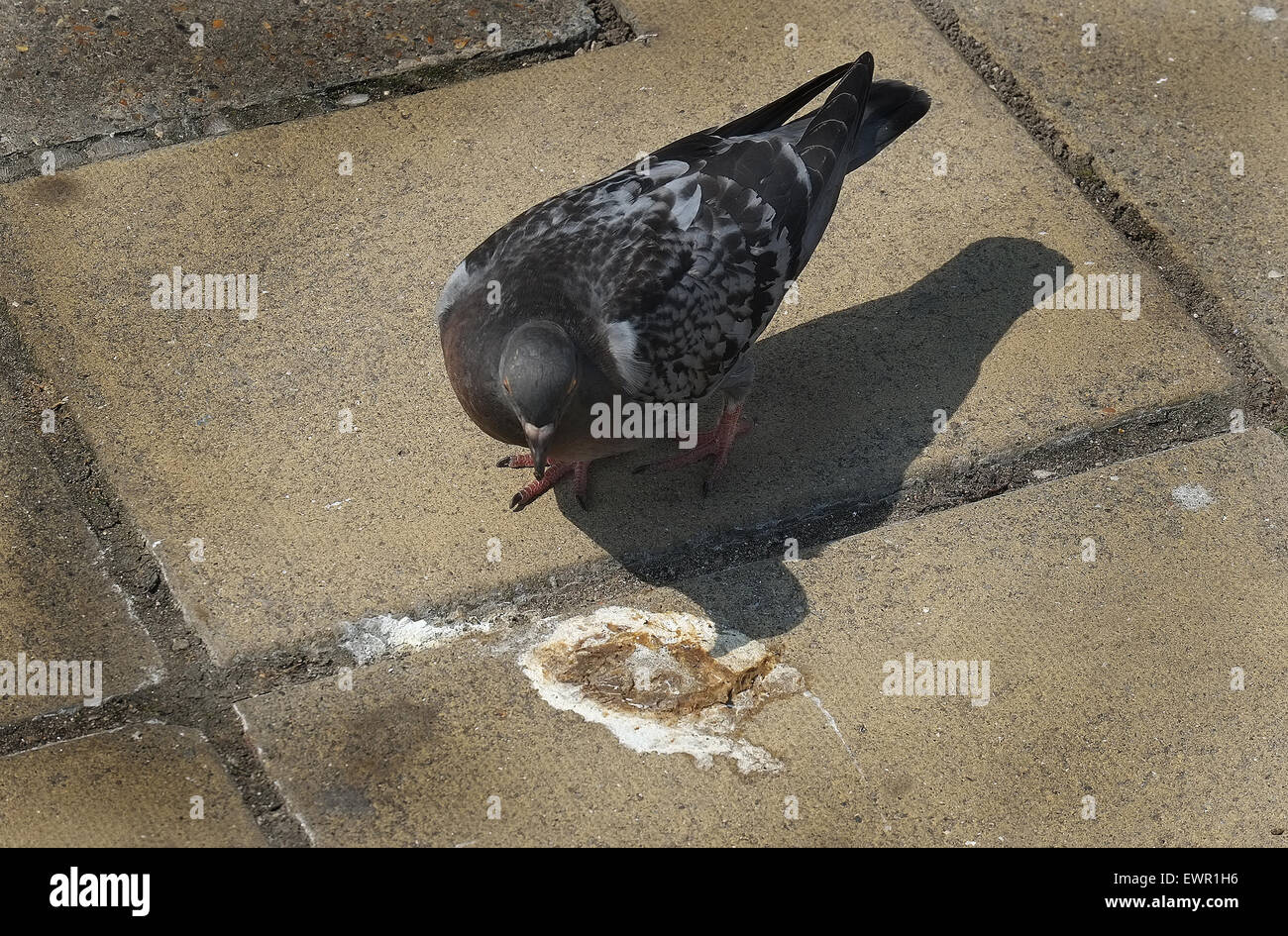 Feral pigeon in town with bird droppings. - Stock Image
