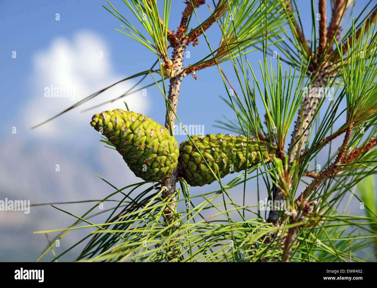 green pine cones - Stock Image