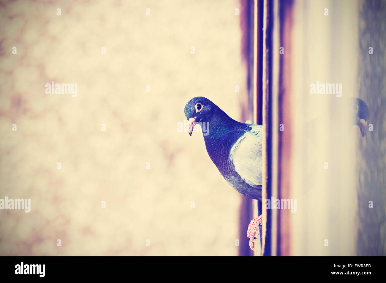 Retro instagram stylized photo of a pigeon on the window, space for text. - Stock Image