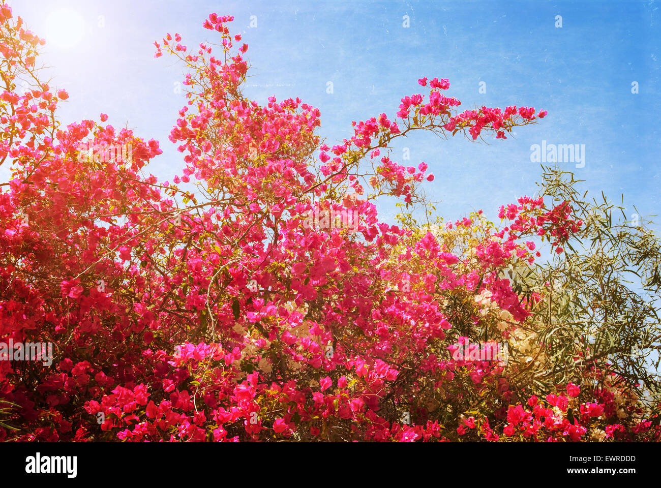 Big bush blooming pink flowers azaleas. Photo textured in old color ...