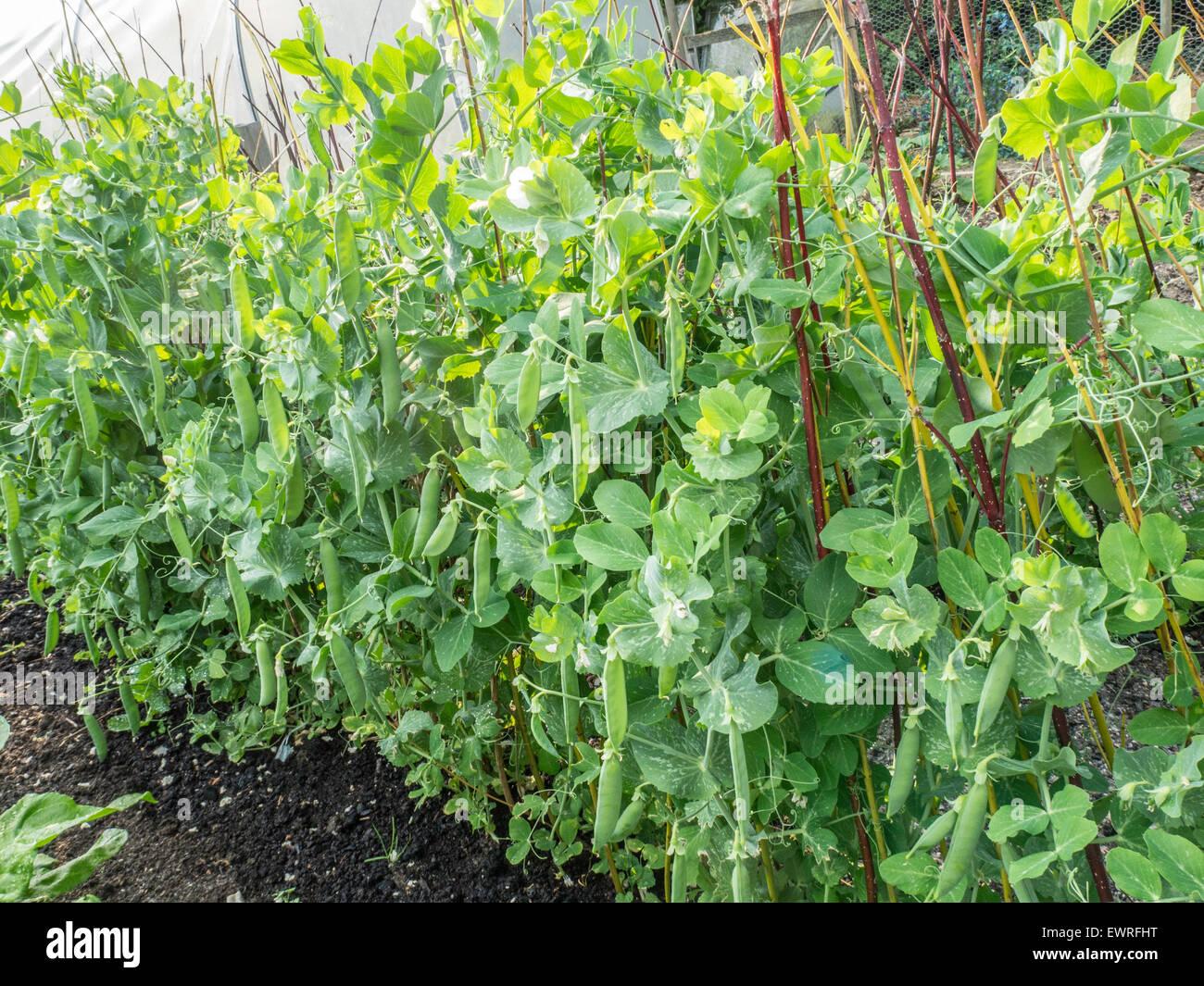 Garden pea 'Meteor' - Stock Image