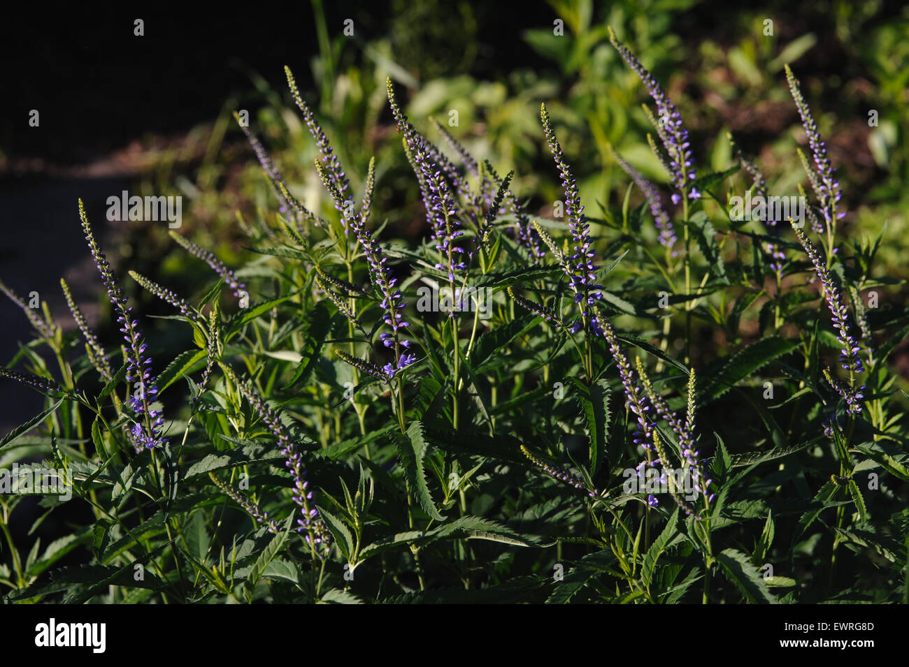Veronica flowers by the evenings sun. Stock Photo