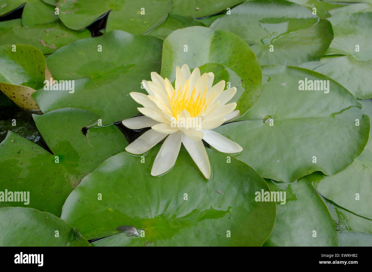 Yellow Lotus American Lotus Water Chinquapin Or Volee Nelumbo