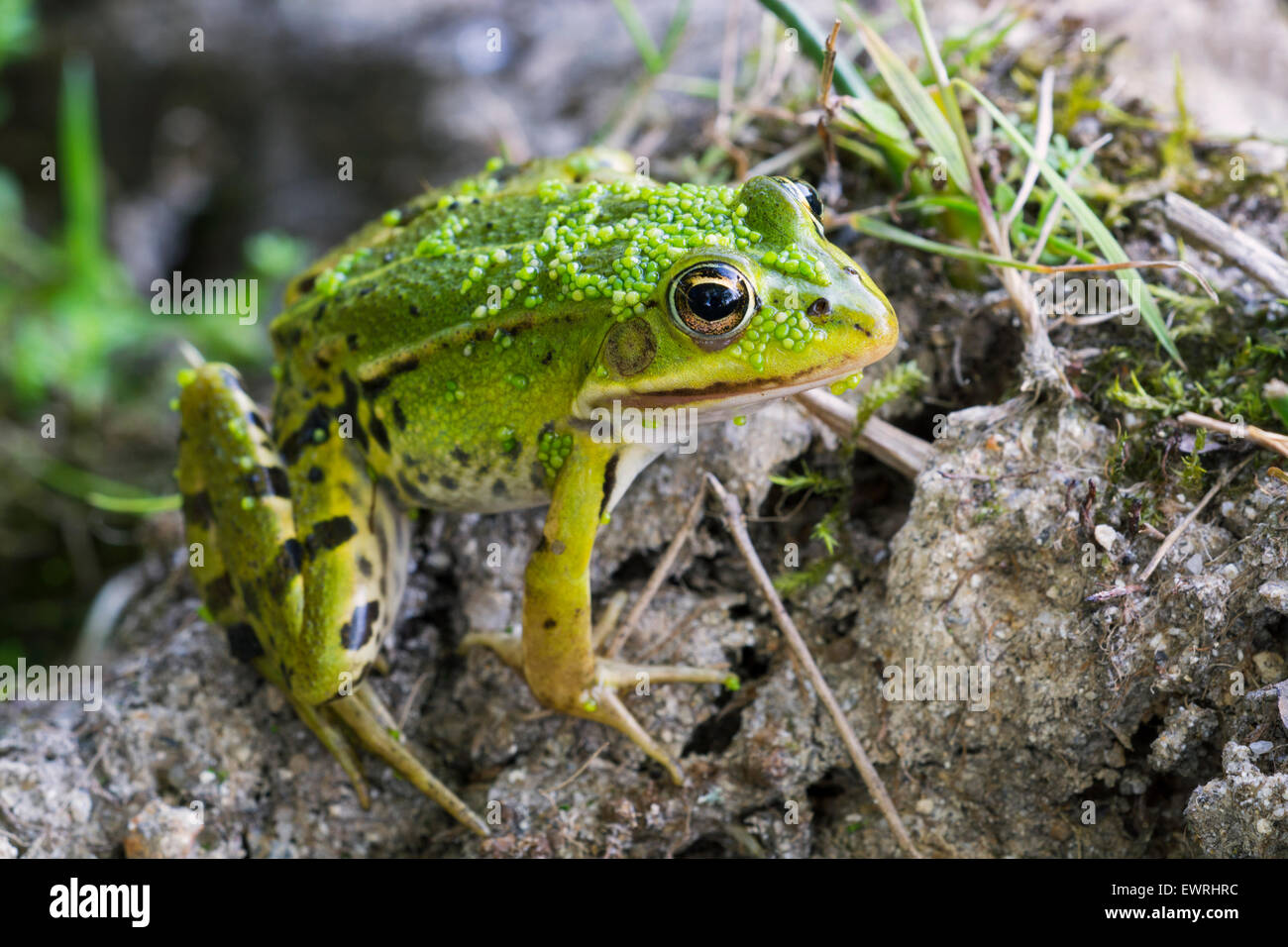 Edible frog / common water frog / green frog (Pelophylax kl. esculentus / Rana kl. esculenta) sitting on pond bank - Stock Image