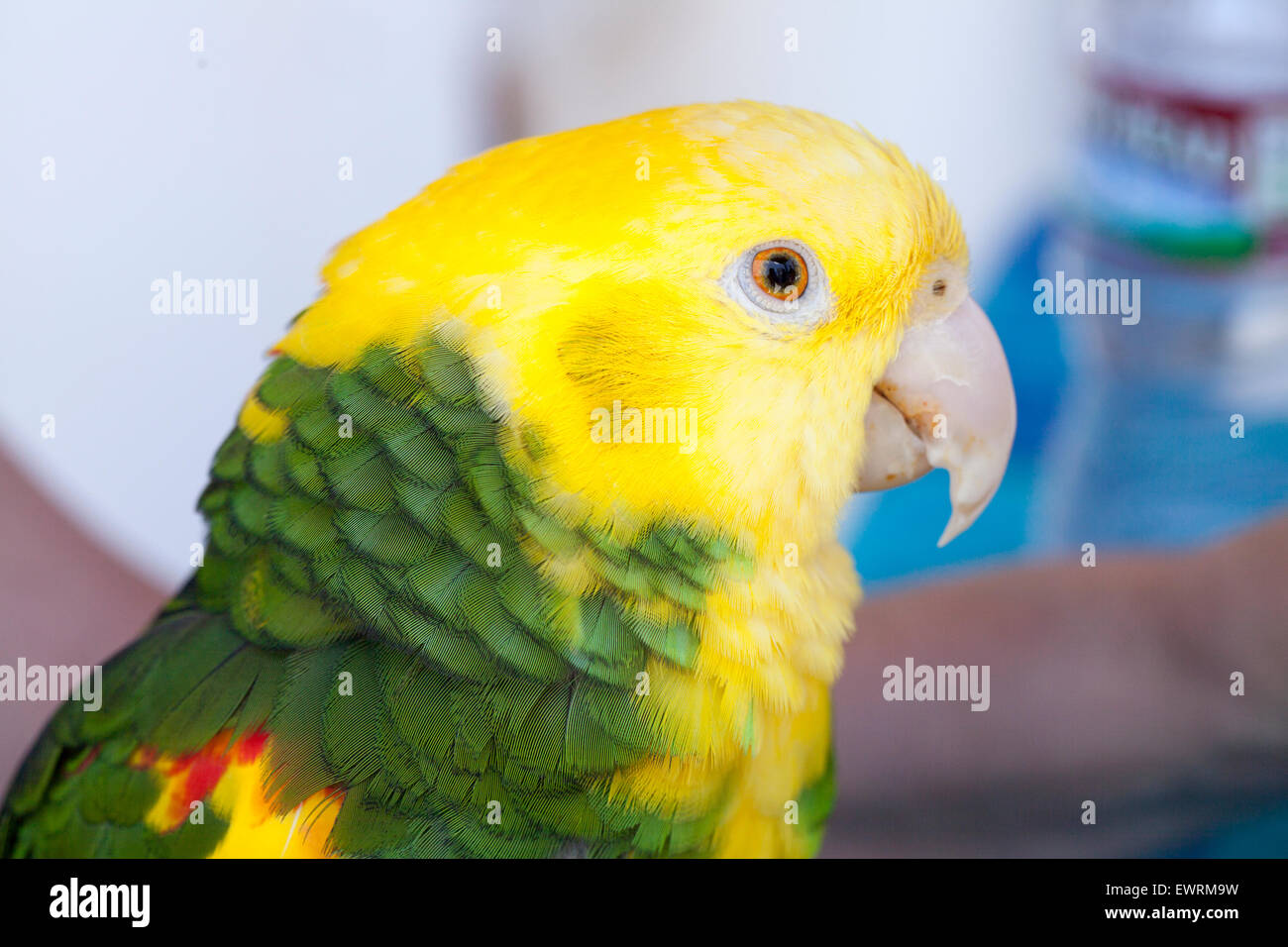 green and yellow parrots at a community bird organization in stock