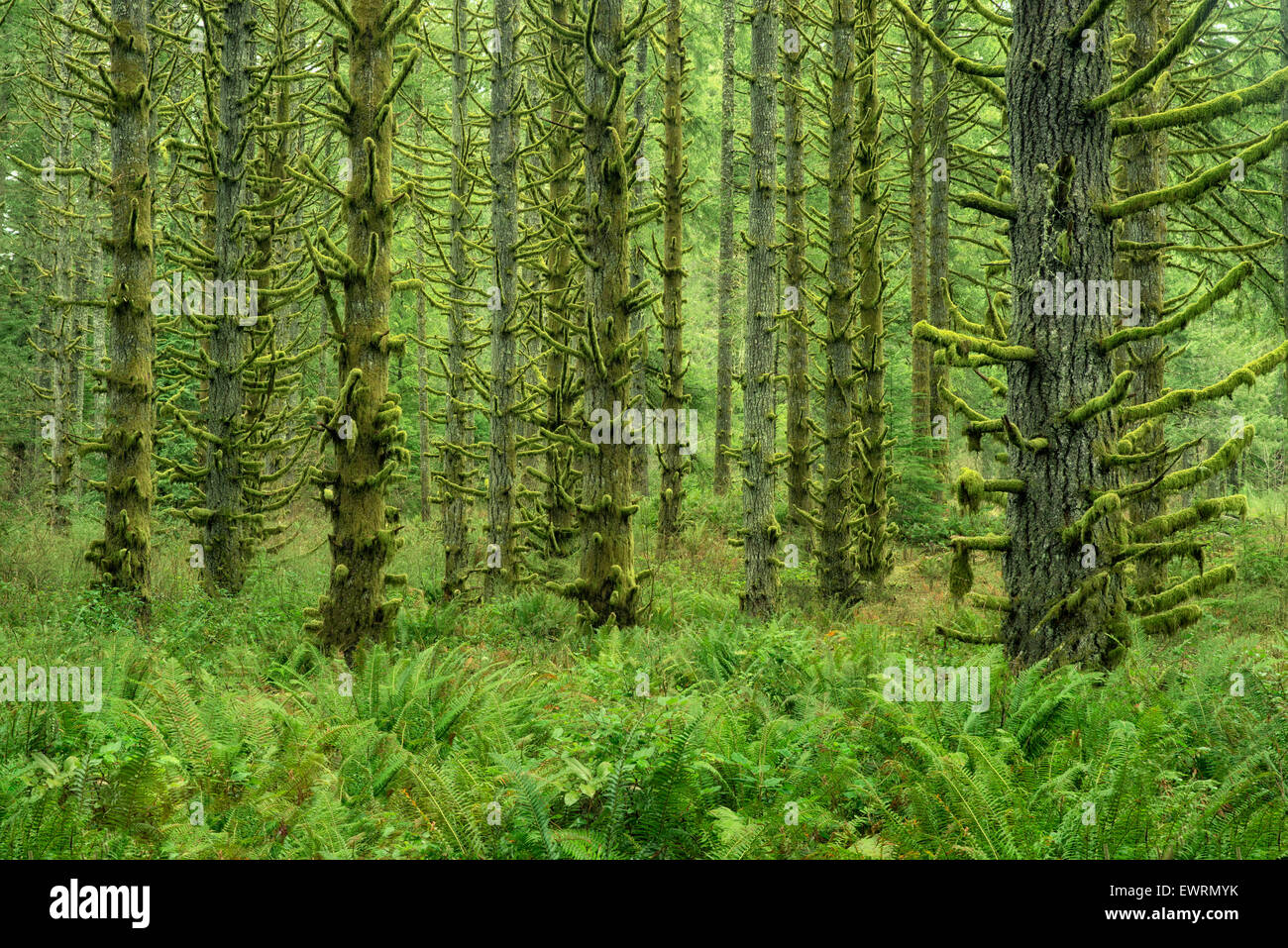 Moss covered Spruce trees and ferns. Silver Falls State Park, Oregon - Stock Image