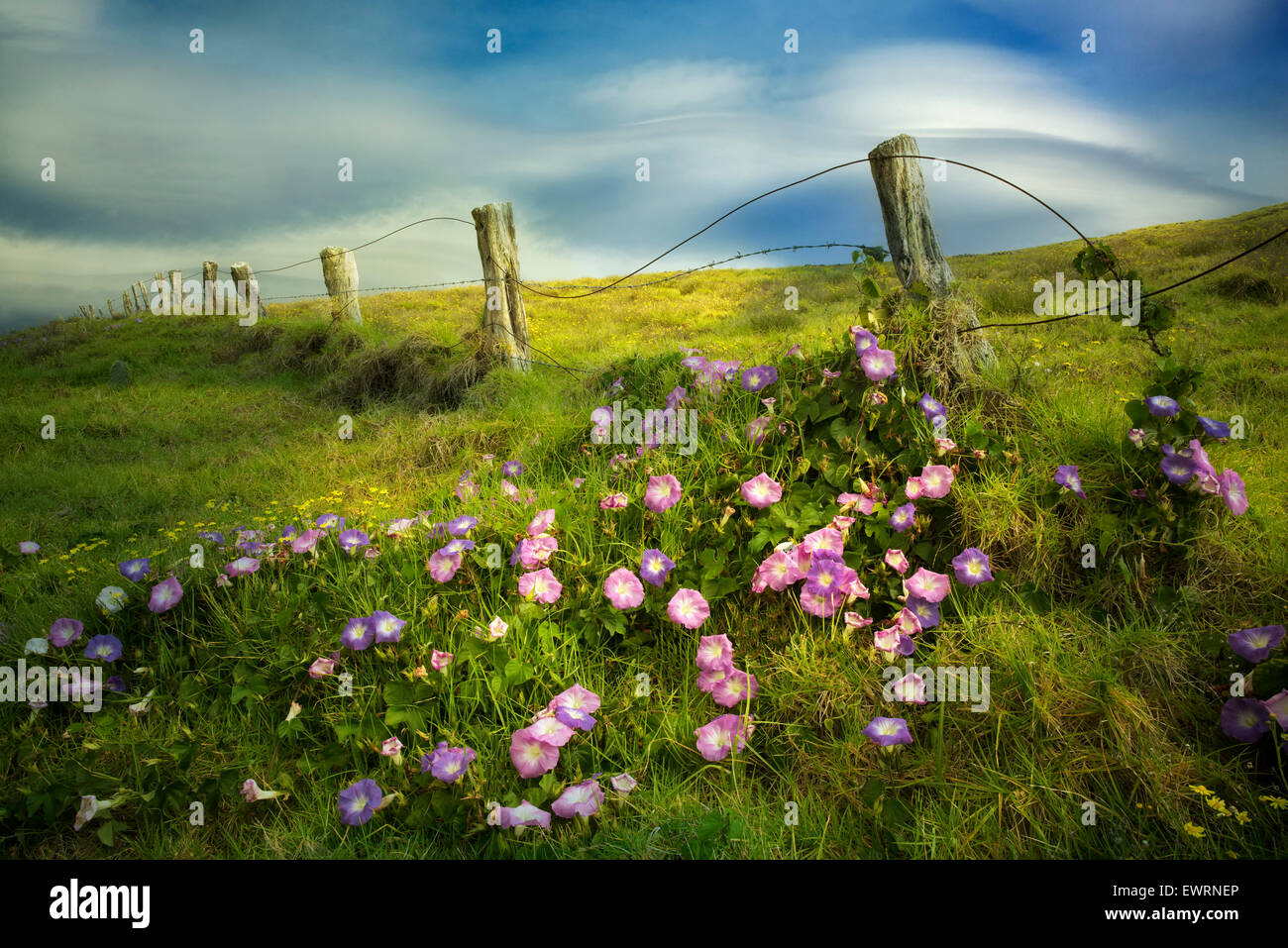 Fence line and Morning Glory flowers. Hawaii, The Big island. - Stock Image