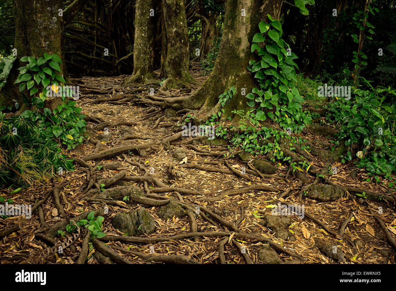 Path and tree roots at Rainbow Falls. Hawaii, The Big Island - Stock Image