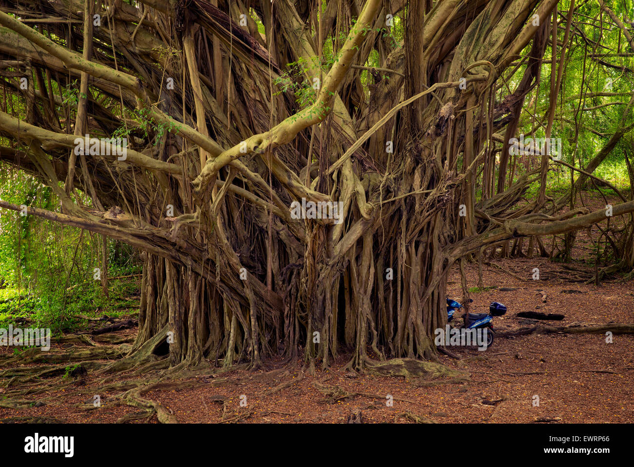 Banyon Tree. Hawaii, The Big Island. - Stock Image