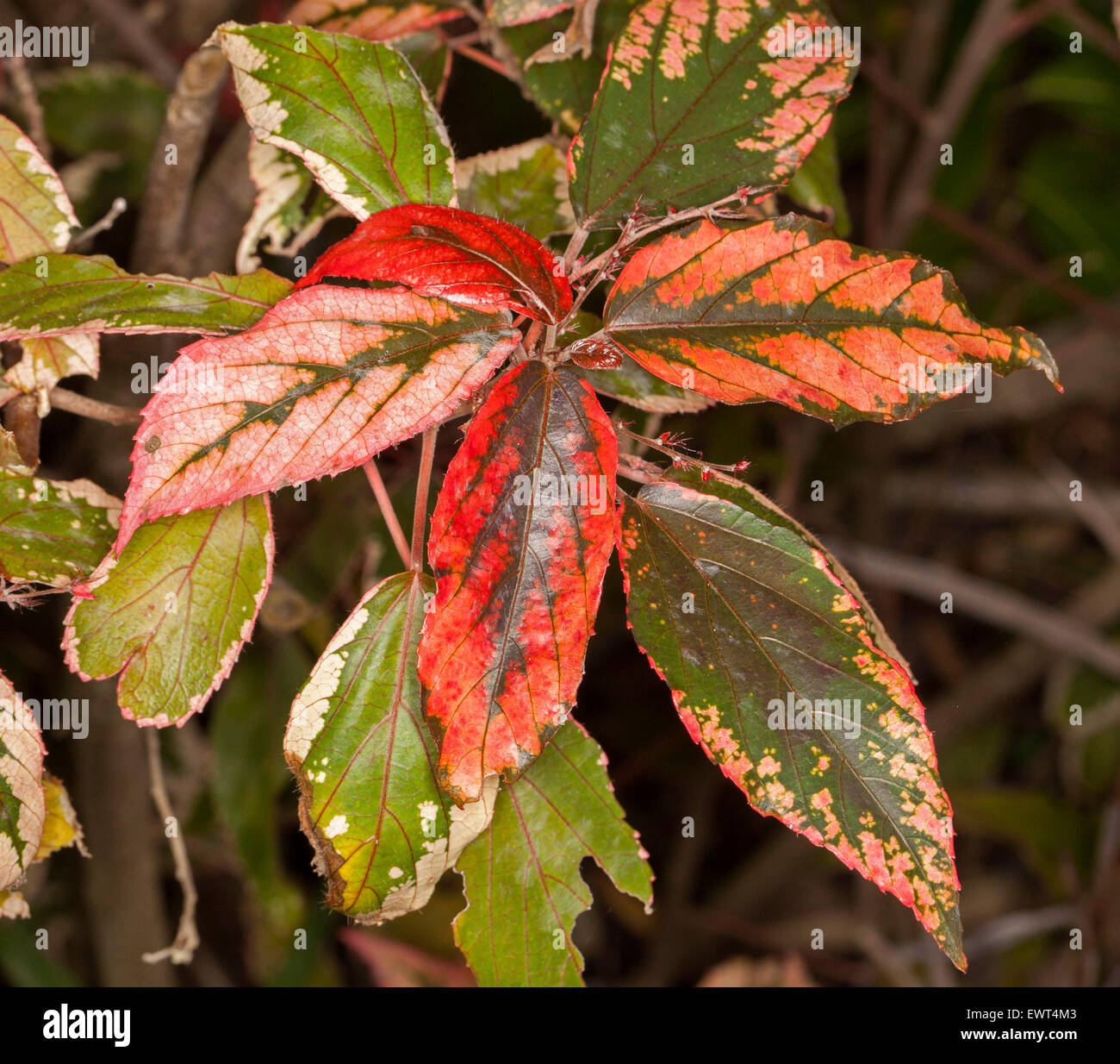 Tropical bush red green leaves stock photos tropical bush red cluster of bright red pink and green mottled and variegated leaves of acalypha wilkesiana mightylinksfo