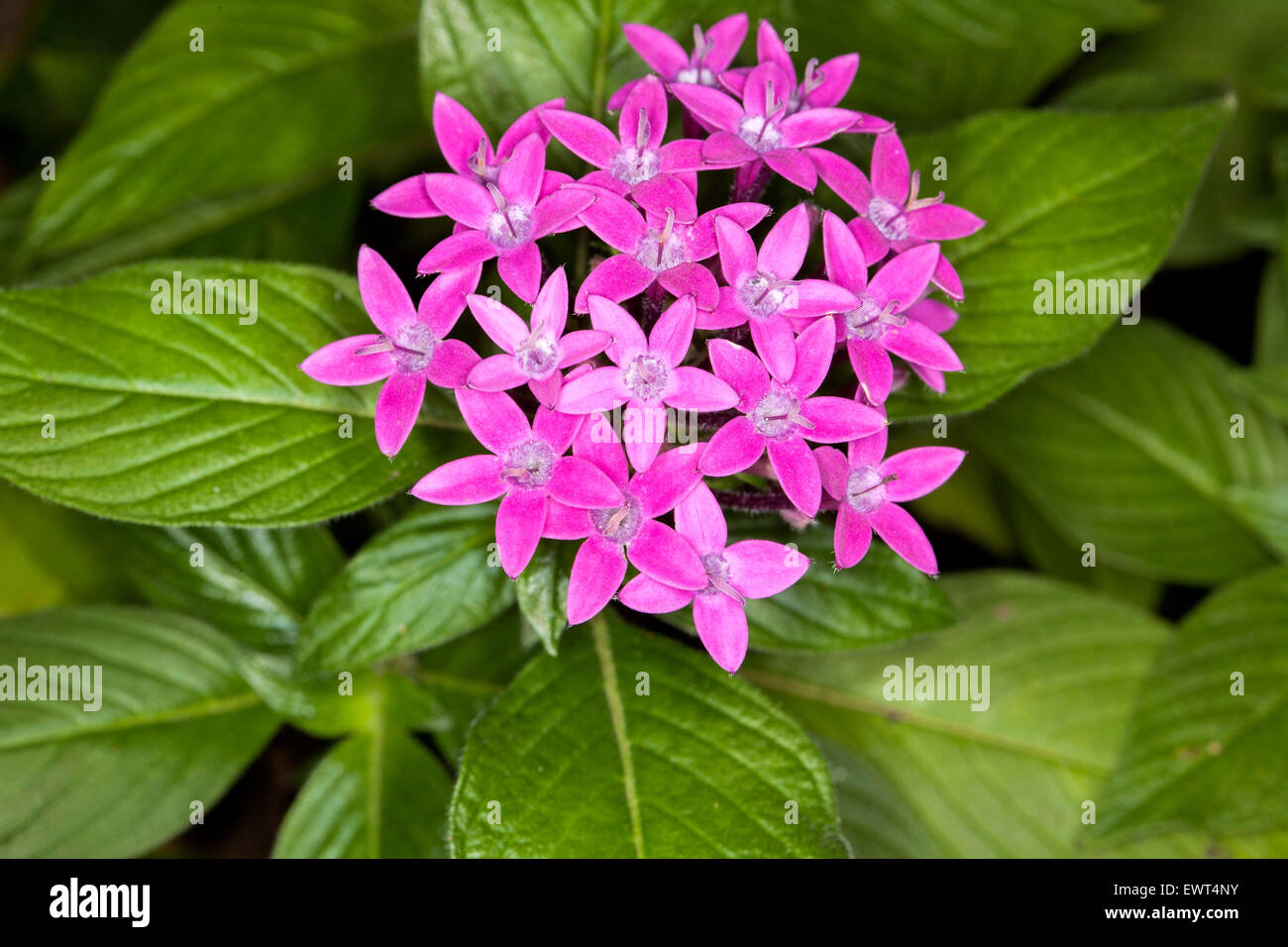Pink Star Shaped Flowers Stock Photos Pink Star Shaped Flowers
