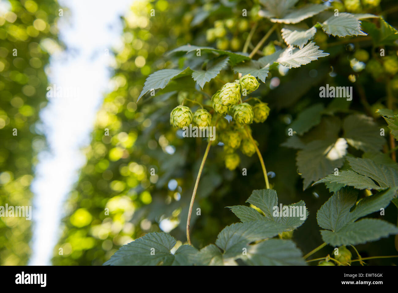 George, South Africa - Hops on farm - Stock Image