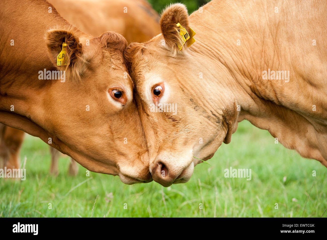 Two limousin cows fighting each other, pushing head to head. Lancashire, UK. - Stock Image