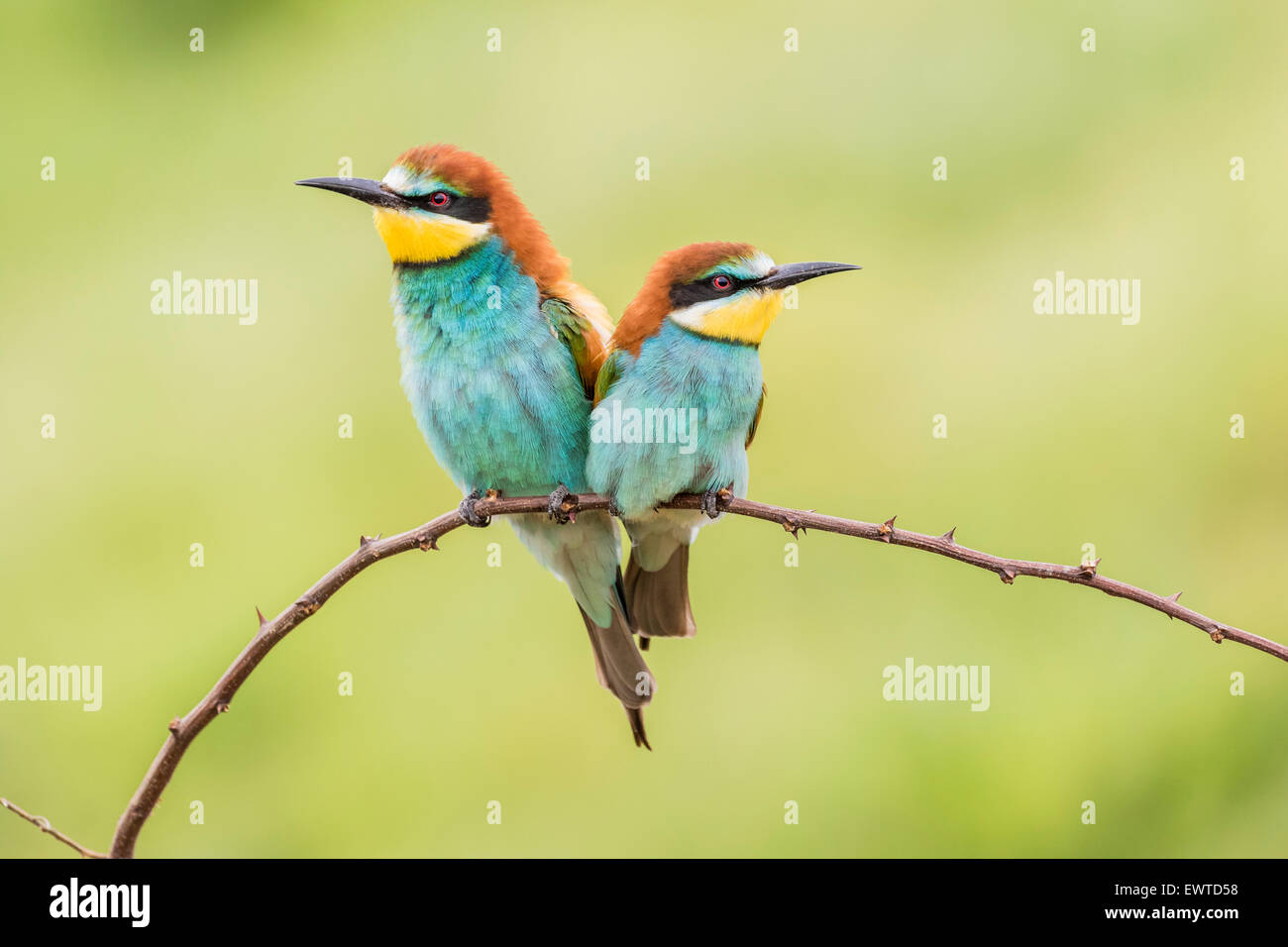 European bee-eater (Merops apiaster), two birds sitting on branch, Ruse Province, Bulgaria - Stock Image