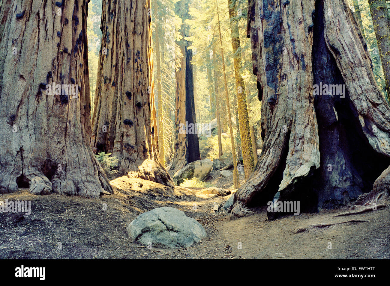 Golden light streaming through a forest of giant redwood trees in Sequoia, Califonia. - Stock Image
