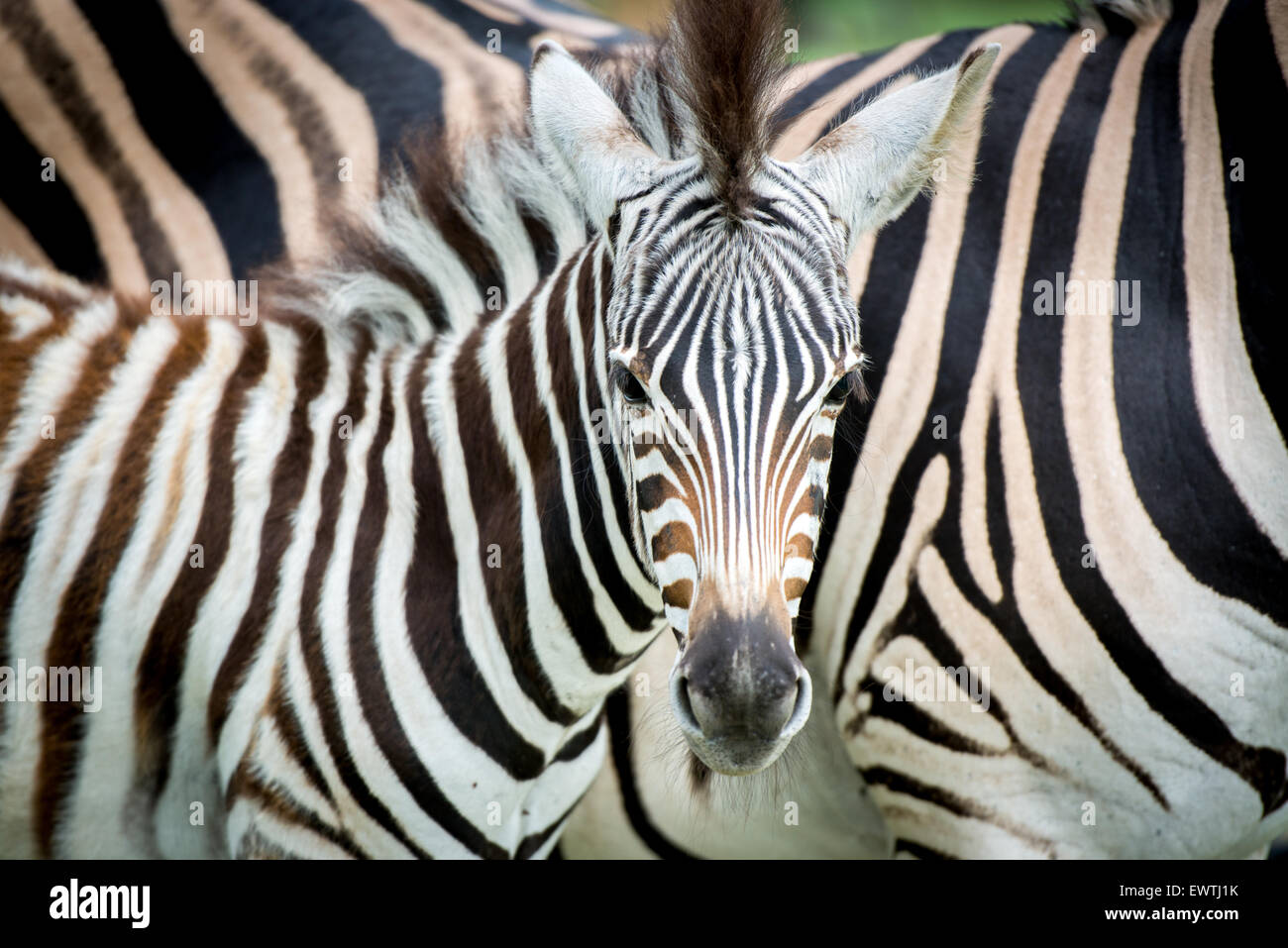 SOUTH AFRICA- Zebra (Equus quagga) roaming in the Dinokeng Game Reserve - Stock Image