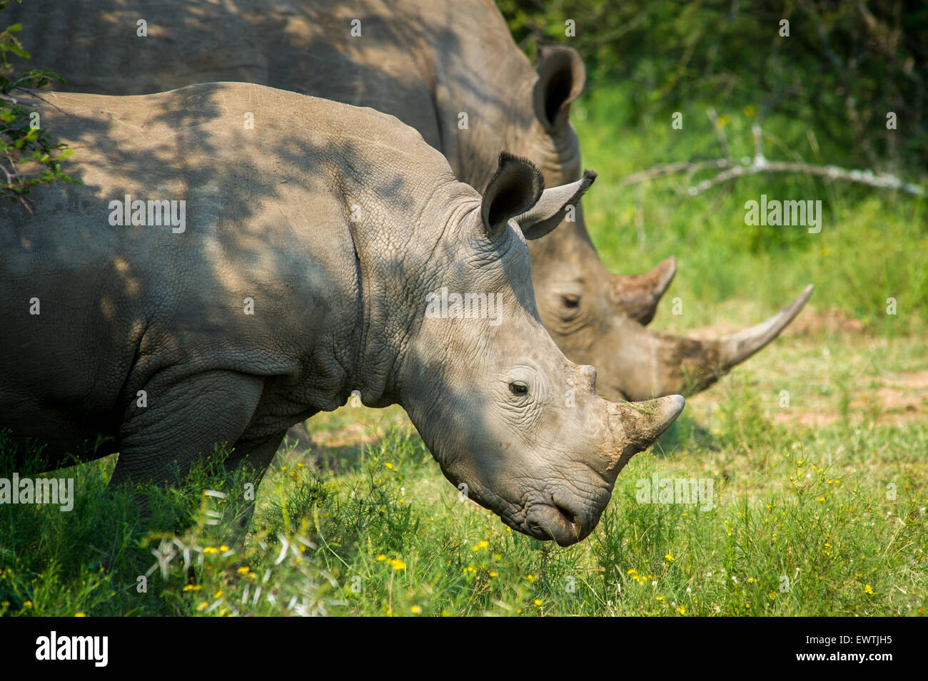 SOUTH AFRICA- A pair of rhinoceros' (Rhinocerotidae) on the Dinokeng Game Reserve - Stock Image