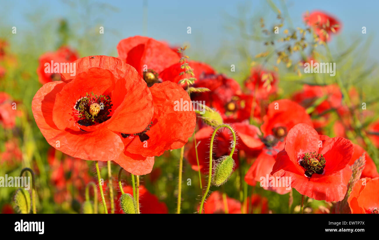 Close view of red poppies in summer countryside. - Stock Image
