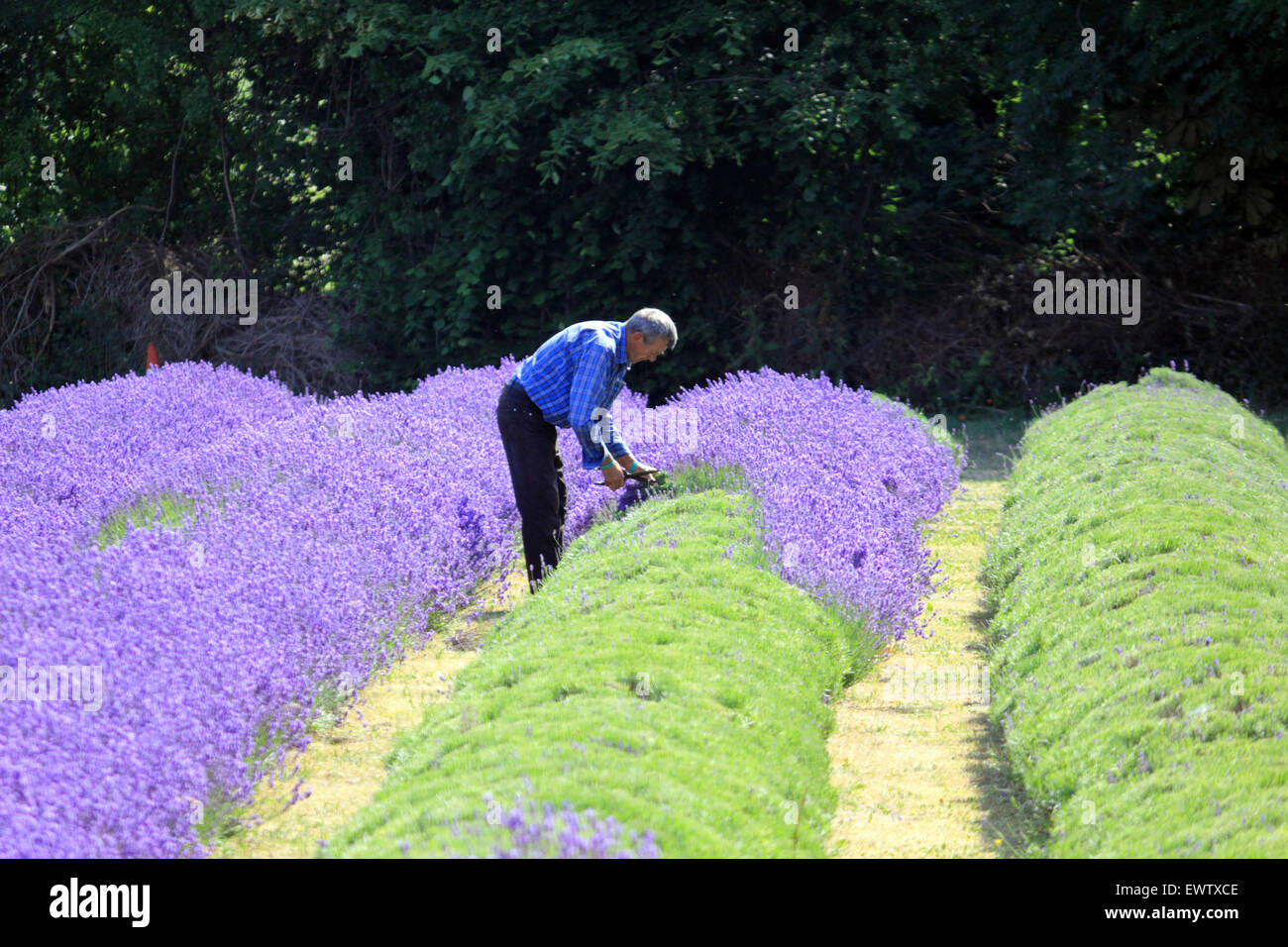Harvesting the crop at Mayfield Lavender, Croydon Lane, Banstead, Surrey UK. - Stock Image