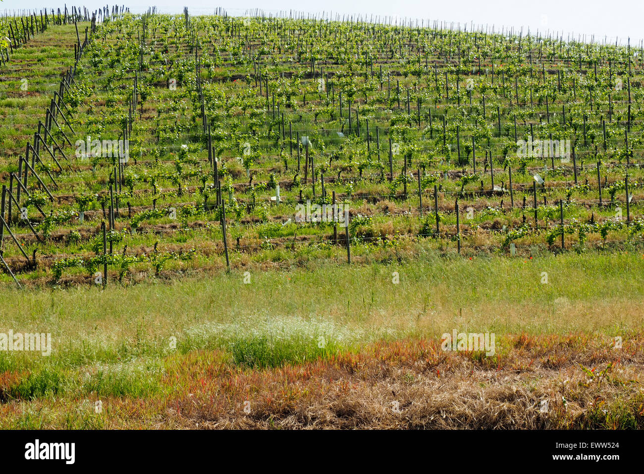 Vineyard on the side of a hill in Piedmont, Italy. - Stock Image
