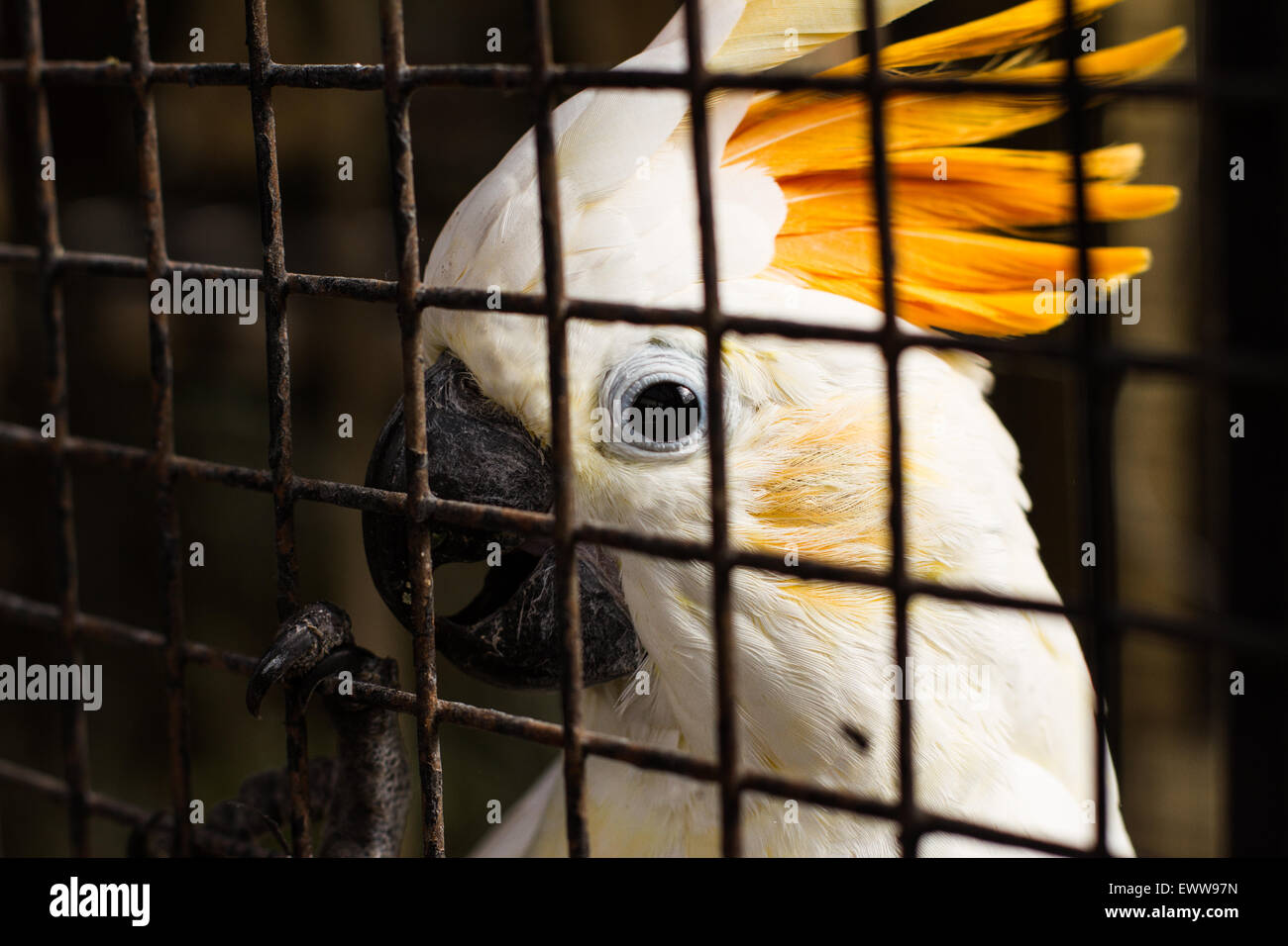 A Cockatoo looks straight towards the camera in a beautiful photo, showings its feathers in the Jungle Zoo, Cleethorpes, - Stock Image