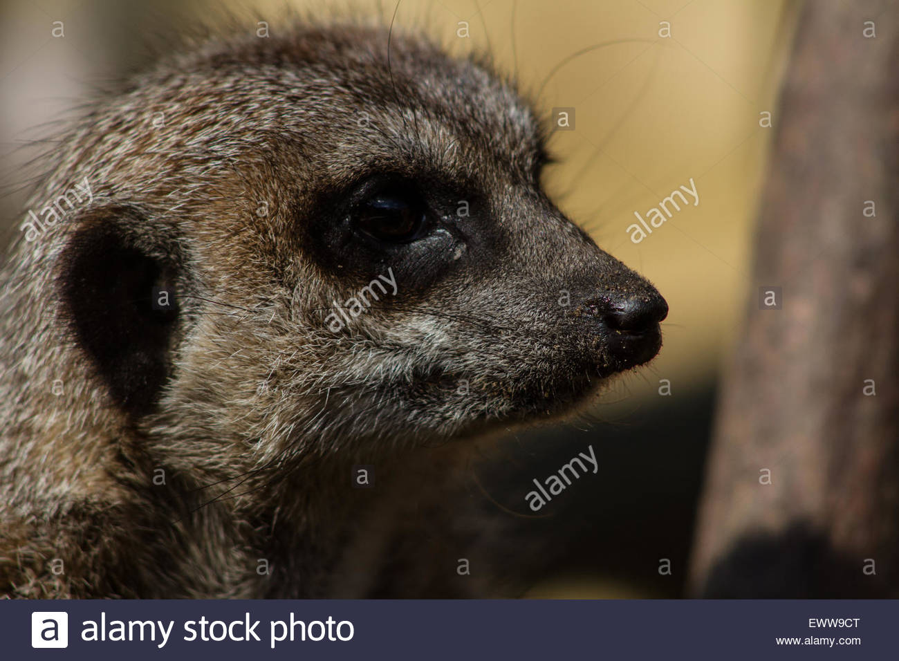 A meerkat looks towards an observer in the Jungle Zoo, Cleethorpes, East of England - Stock Image