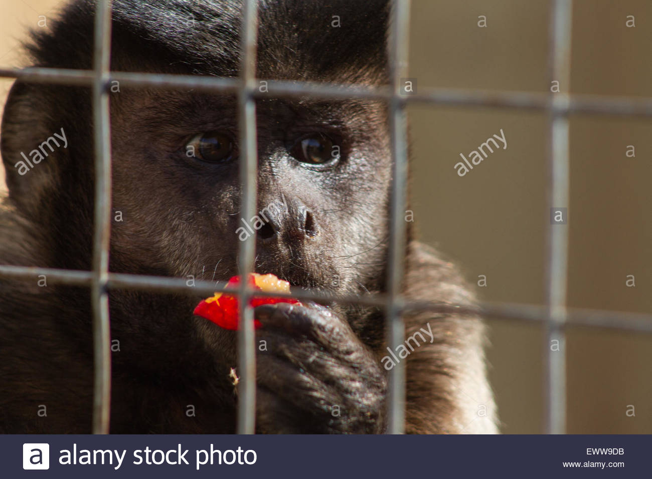 A monkey eats a piece of fruit behind a cage in the Jungle Zoo, Cleethorpes, East of England - Stock Image