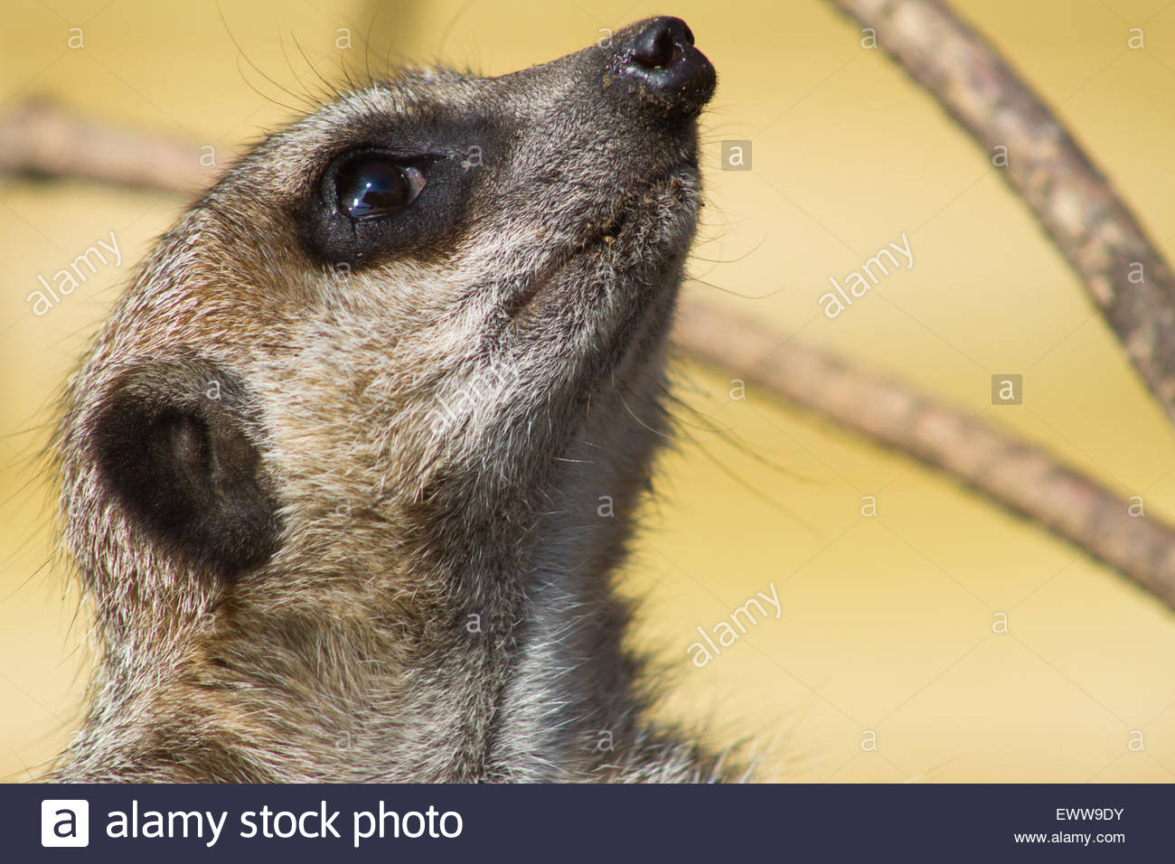 A close up of a Meerkat looking towards the sky in the Jungle Zoo, Cleethorpes, East of England - Stock Image